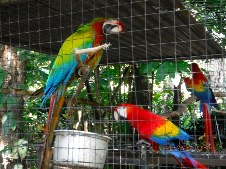 Hybrid Macaw in the foregroud Red Macaws