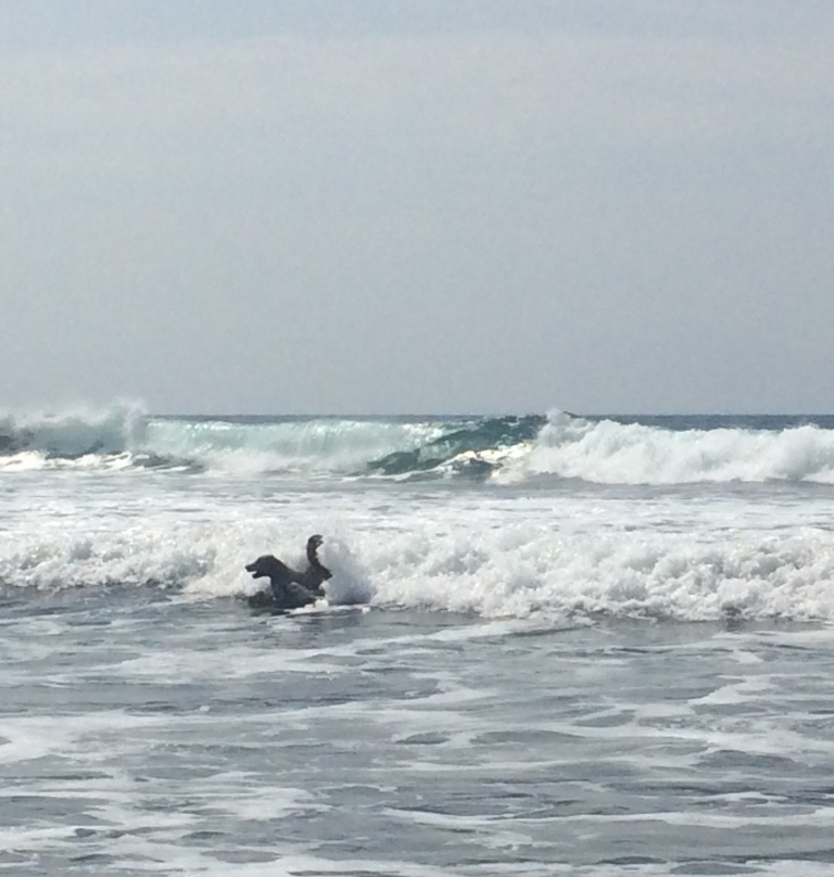 Surfing doggie